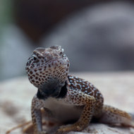 Closeup of a Grand Canyon Collared Lizard.