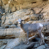 Bighorn sheep at the edge of the river.