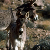 Feral burros - no longer present in the national park.