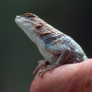 A handful of lizard.