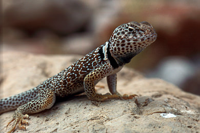 Thumbnail image ofGrand Canyon Collared Lizard from the side.