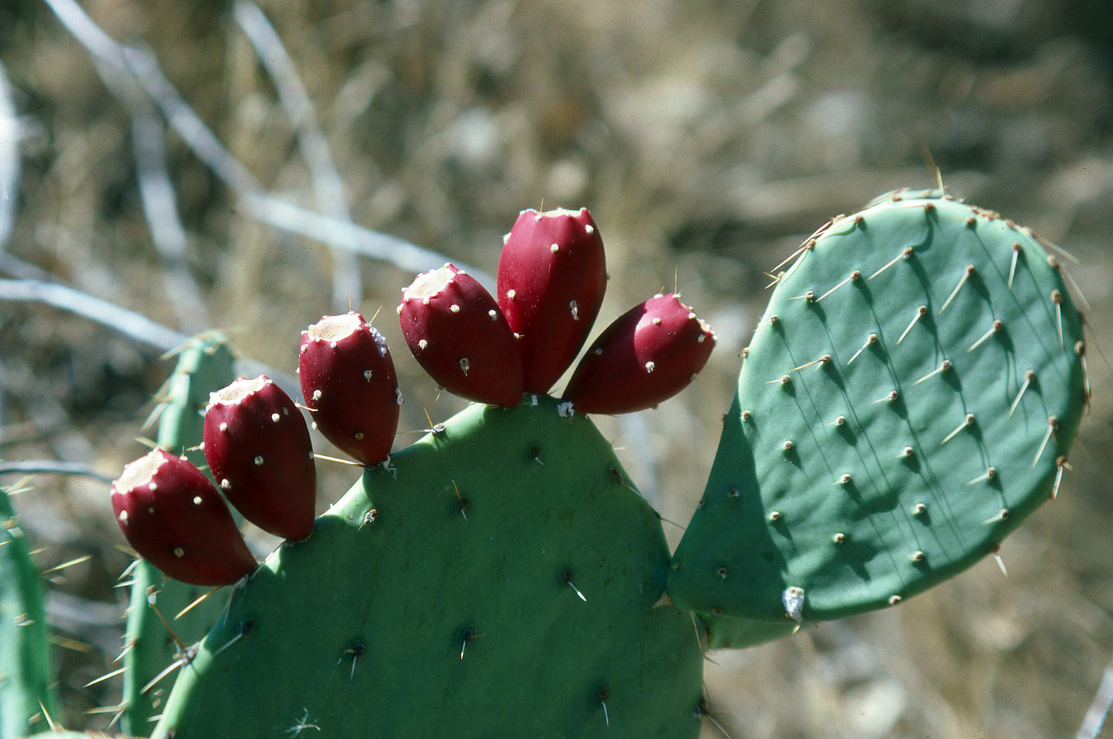 Opuntia Fruit