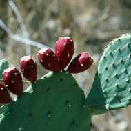 Ripe prickly pear cactus fruit.