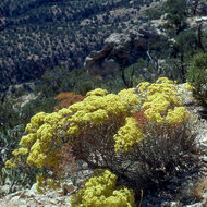 Golden wild-buckwheat on a cliff.