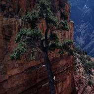 Pine tree against a cliff.