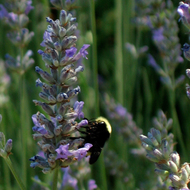 A bumblebee on a flower in the front garden of the Beauty Ranch House, Jack London State Park.