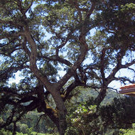 A giant oak tree next to the Beauty Ranch House, Jack London State Park.