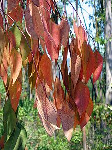 Thumbnail image ofLeaves of Beauty Ranch eucalyptus trees, Jack...