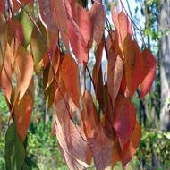 Leaves of Beauty Ranch eucalyptus trees, Jack London State Park.