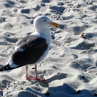 A seagull along the 17-mile drive between Monterey and Carmel on the California coast.