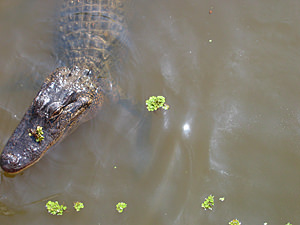 Thumbnail image of An alligator in a swamp near Houma (outside New...