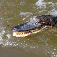 An alligator in a swamp near Houma (outside New Orleans).