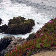 A close-up of flowering ice plant, with the ocean in the background.
