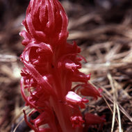 A snowplant in the Sierra.