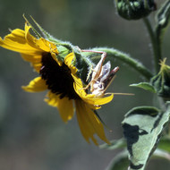 A grasshopper on a sunflower.
