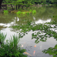 Koi fish in a pond at Kinkaku-ji, also known as the Golden Temple.