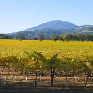 Napa Valley vineyards in Fall, looking North near Calistoga.