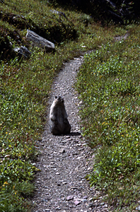 Thumbnail image ofA marmot on the trail in Glacier National Park,...