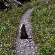 A marmot on the trail in Glacier National Park, Montana.