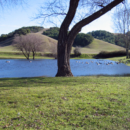 A pond at Marin French Cheese Company in rural Marin County, California, with Canadian Geese.