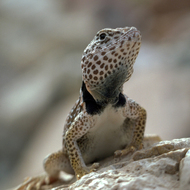 A close-up of a Grand Canyon Collared Lizard.