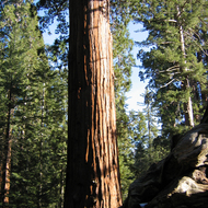 A standing Sequoia towers over a fallen neighbor in the General Grant Grove.