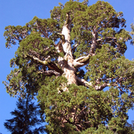 The General Grant Tree in General Grant Grove, Kings Canyon National Park, also known as the Nation's Christmas Tree.