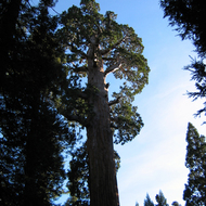 The General Grant Tree in General Grant Grove, Kings Canyon National Park. also known as the Nation's Christmas Tree.