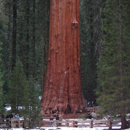 The General Sherman Tree, the largest living tree in the world by mass (not the tallest), Sequoia National Park.
