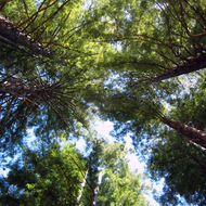 Looking straight up into the canopies of several Coast Redwood trees near Occidental, California.