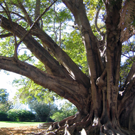 A beautiful Moreton Bay Fig (Ficus Macrophylla) tree in a Sydney park.