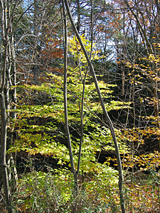 Thumbnail image ofTrees losing their leaves at Quechee Gorge State...