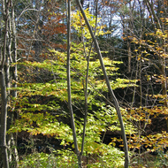 Trees losing their leaves at Quechee Gorge State Park.