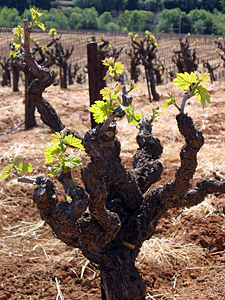 Thumbnail image of A grapevine in early Spring.