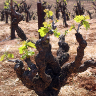 A grapevine in early Spring.