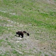 A grizzly bear and her cubs at the Lake Louise Mountain Resort in summer.