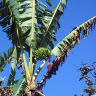 A banana plant in Hawai'i.