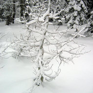 A sapling encased in snow.