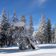 A snow-laden tree at the Royal Gorge Cross-country Ski Resort, California.