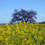 A view of a field south of Sonoma in the Spring, with mustard in bloom.