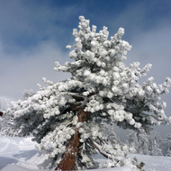 A tree completely flocked with snow in the Sierra Nevada Mountains at the Royal Gorge Cross Country Ski Resort.