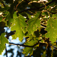 Backlit oak leaves.