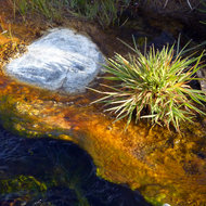 A close-up of the hot water and vegetation in the hot springs stream that runs into the East Fork of the Carson River below Markleeville, CA.
