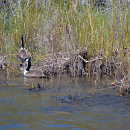 A family of Canadian Geese on the East Fork of the Carson River below Markleeville, CA.