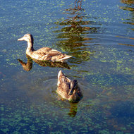 Ducks in a pond at the Rancho Las Palmas resort in Palm Springs, Calfiornia.