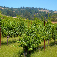 A view of the vineyards at Lazy Creek Winery in Mendocino County, California.
