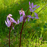 Shooting Star flowers in spring on the Sonoma Overlook Trail.