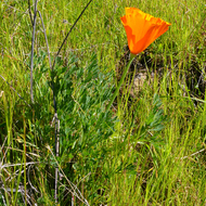 A California Poppy in spring on the Sonoma Overlook Trail.