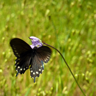 A Swallowtail butterfly on a flower, on the Sonoma Overlook Trail.