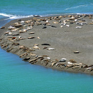 Sea Lions at the mouth of the Russian River in California.